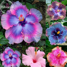 Rare Mix Colors Giant Hibiscus Seeds Potted Plant Perennial Flowers, 20 Seeds, rose mallow light up your garden E3636