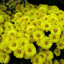 120 pcs Yellow Callistephus Chinensis Flower Seeds Balcony Potted Bonsai Flower seeds Aster Seed Absorption Radiation