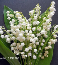 100 pcs Lily of the Valley flower seeds , bell orchid seeds,rich aroma ,bonsai flower seed, so cute and beautiful(China)