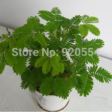Rare flower,10pcs/bag bashfulgrass,sensitiveplant (Mimosa pudica)seed beautiful flower bonsai plant home garden free shipping A1(China)