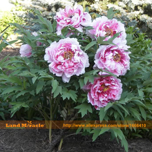 Heirloom 'Sarah Bernhardt' Peony Flower Seeds, 5 Seeds/Pack, Outdoor Shrub Tree Peony Perennial Garden Plants-Land Miracle