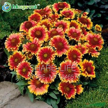 20 seeds/Pack Chrysanthemum seed Gaillardia Pulchella seeds Rare Beauty Flowers Gorgeous Color Beautiful Home Garden Flower(China)