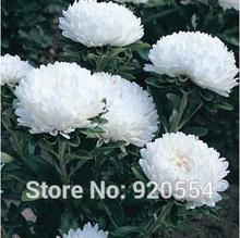 Imported seed,10pcs/pack Aster (Callistephus Dwarf Milady White) seeds bonsai plant DIY home garden free shipping