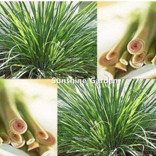 400 seeds/pack EAST INDIA C. flexuosus ~ LEMON GRASS LEMONGRASS SEEDS ~Used fresh or dried(China)