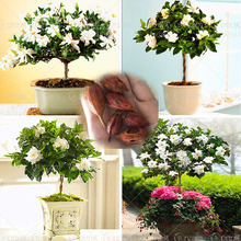 Buy 2pcs/bag Gardenia Bulbs (Cape Jasmine ) bonsai flower bulbs smell & beautiful flowers potted plants home garden for $1.26 in AliExpress store