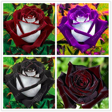 100 pcs/bag black rose seeds beautiful flower seeds indoor or outdoor plant pot garden flowers seeds DIY for home garden(China)