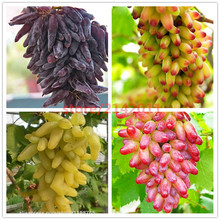 50pcs/bag Rare finger grape seeds,Advanced fruit seeds,Natural growth grapes Delicious bonsai potted plants for home garden