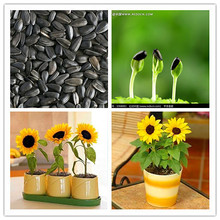 40 mini sunflower seeds Dwarf sunflower seeds sunflower series height 40cm Flower Seeds ornamental-plant(China)