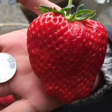 25 Giant Strawberry Seeds, Very Sweet,Juicy, DIY Home Fruit Plant, Productive,Free Shipping