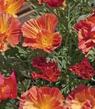 40+seeds/pack PEACH STRAWBERRY CALIFORNIA POPPY FLOWER SEEDS MIX/ PAPAVER RESEEDING ANNUAL
