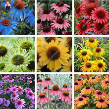 120 pcs-Rare Japan Echinacea Purpurea Seeds beautiful daisy flower seeds home garden plants easy to grow bonsai flower seeds(China)