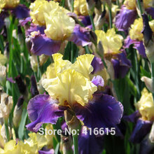 Tall Bearded Iris Jurassic Park Seeds Edith Wolford Colorful Flower Seeds Home Garden Flower Plants