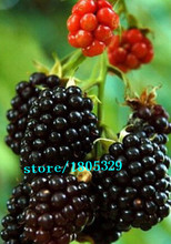 lose money!!!!200pcs Black Mulberry  blackberries Seeds Morus Nigra Tree blue berry Garden Bush Seed DIY home garden free shippi