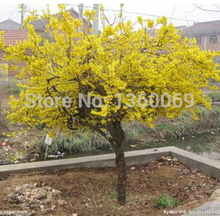 20pcs/lot Forsythia E010 outdoor potted flowering plants bonsai plant DIY home garden free shipping(original packing)(China)