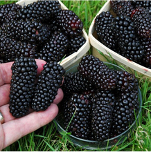 200pcs real quality blackberry fruit seeds rare fruit seeds for home garden planting grow fast(China)