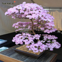 Japanese Sakura Seeds Bonsai Flower Cherry Blossoms Cherry Tree Ornamental Plant 10 Particles / lot(China)