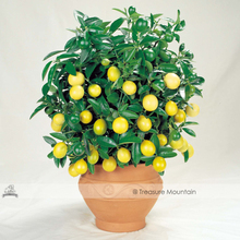 1 Professional Pack, Approx 20 seeds / pack, Bonsai Yellow Lemon Tree Seeds, Edible Fruits Indoor Planting #NF511(China)