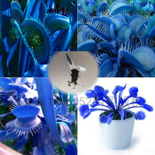 500pcsPromotion!!! blue Dionaea Muscipula Giant Clip Venus Flytrap Seeds Bonsai plants Flower seeds Free shipping