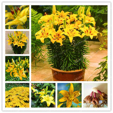 Buy 2 Bulbs 100% True Yellow Lily Bulbs (Not Lily Seeds) Flower Indoor Plant Radiation Absorption Natural Growth Bonsai Flower for $1.84 in AliExpress store