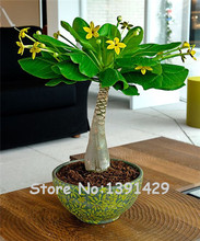 5 Pieces Mini Pachira Macrocarpa Seeds, Hawaiian Make Money Tree Plant, Bonsai Pot Indoor Flowers Plant Seeds, Free Shipping