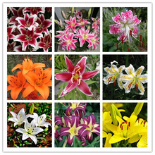 Buy ZLKING 1PCS True Lily Bulbs (not lily seeds) Bud Flower Lilium Bulbs Faint Scent Bonsai Pot Plant Home Garden for $1.49 in AliExpress store