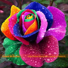 100 Seeds/pack Rare Holland Rainbow Rose Seeds Flower Home Garden rare rainbow rose flower seeds Free shipping-Land Miracle