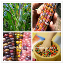 40 pcs rainbow corn seeds NO-GMO Glass Gem Corn vegetable seeds for home garden send 300 strawberry for gift(China)