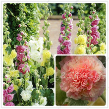 100 Pcs Hot Hollyhock Seeds (Alcea Rosea 'Nigra') Mixed Color Flower Outdoor Plant Seeds For Garden Home Beautifying Decoration(China)