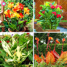 10 pcs Dwarf Bonsai Canna Lily Seeds Beautiful Flower Seeds Wonderful Foliage Perennial Potted Plant For Home Garden(China)