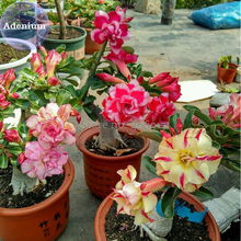 BELLFARM Mixed 2 types of Adenium Desert Rose, 2 Seeds, yellow red one and pink red one E3980(China)