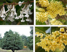 Garden Plant 5pcs / bag  Flower seeds courtyard osmanthus flower tree seeds free shipping Bonsai Seed