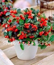 10 Pcs Wintergreen(Gaultheria Procumbens) seeds rare beautiful flower bonsai plants DIY home healthy garden green food easy grow(China)