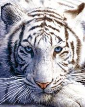 Tigre polaire couverture promotion achetez des tigre - Tigre polaire ...