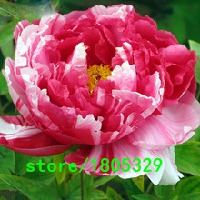 Hot Sale Rare Pink and Red Double Color Peony Flower Seeds Potted Flowers Bonsai Plant Seeds for Home Garden 5 particles / lot