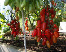 100 PCS big cherry tomato tree seeds italy new tomato seeds NO-GMO fruit and vegetable seeds for home garden planting