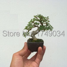 Ash tree seeds bonsai seeds green tree seeds DIY home garden - 30 Seed particles(China)