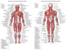 "Human Body Anatomical Chart Muscular System Watercolor inkjet Fabric poster 32"" x 24"" 17x13""--001(China)"