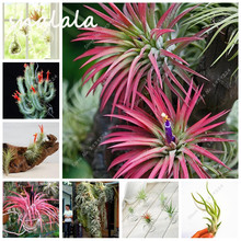 100pcs Hot Sale Tillandsia Cyanea Seeds Potted Flower Seeds Purple Chinese Rare Bonsai Air Plants For Home& Garden Free Shipping