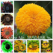 50 Seeds Giant Sunflower Seeds Dwarf Sunflower Seeds ,Rare Green, Blue, Red Flower Ornamental Bonsai Plants Home Garden Planting