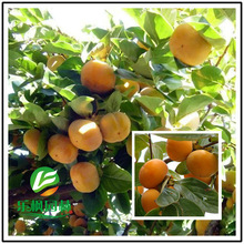 Luotiantianshi direct persimmon tree seed tree seed tree wood quality seed varieties wholesale spot 5 seeds / pack