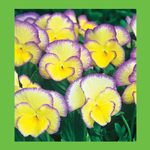 Yellow + purple fringe color combinations large petal pansy seeds potted bonsai garden courtyard terrace 100PCS