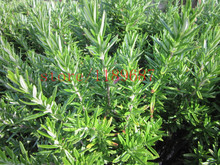 100 pcs Rosemary Seeds -chinese herb seeds ~good smell flower seeds for beautiful gardens