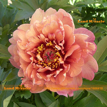 100% Real Bush Flower Peony Seed, 5 Seeds/Pack, Garden Peonies Strong Fragrant Flowers-Land Miracle(China)