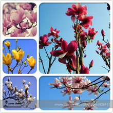Heirloom Chinese Red Yellow Pink White Yulan Magnolia denudata Fragrant lilytree 10 Seeds