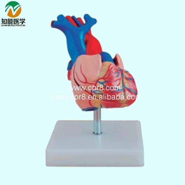 Natural big heart anatomy model BIX-A1054 Spain freight free<br><br>Aliexpress