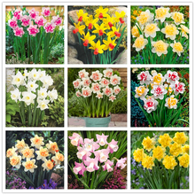 100 pcs/bag Narcissus seeds Aquatic Plants double petals daffodil seeds bonsai flower seeds tazetta chinensis potted plant(China)