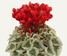 free ship Seasons perennial flower seeds cyclamen- 40 seeds