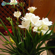 50PCS White Freesia Bulbs Indoor Potted Flowers Orchids, Garden Terrace Perennial Flower Seeds(China)