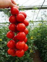Ornamental fruit tomato vegetable seeds, tomato seeds string, Small red tomatoes,about 100 particles