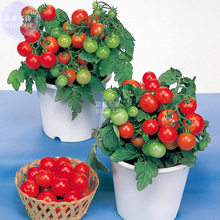BELLFARM Bonsai Cherry Tomato Red Round Fruit Seeds, 100 seeds, professional pack, tasty dwarf tomato indoor home garden plants